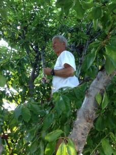 John Crowell in Susie's Rainier Cherry Tree picking and eating cherries