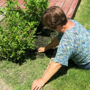 Sherry going beyond the call... weeding the blueberry bushes