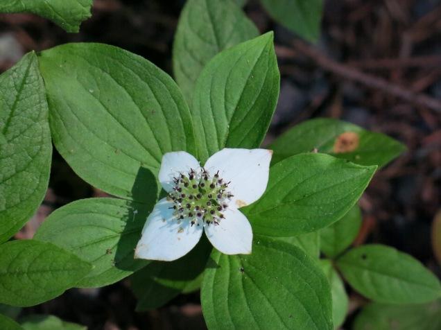 Unalaska Bunchberry
