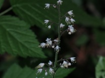 Trefoil Foamflower