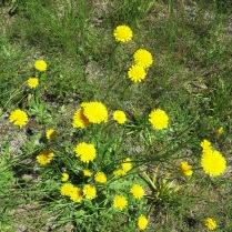 Western Mountain Dandelions