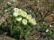 Western Pasqueflowers