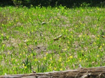 meadows starting to be blanketed by Glacier Lilies