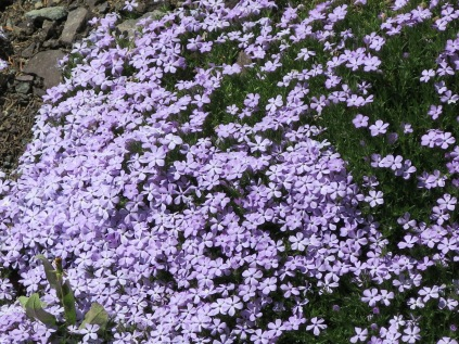 Spreading phlox along roadside