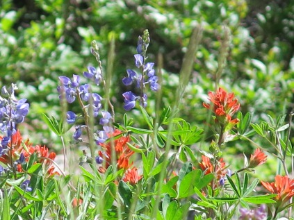 Subalpine Lupine and Scarlet Paintbrush