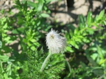 Pasqueflower Seed Head
