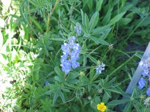 Subalpine Lupine and Fan-Leaved Cinquefoil