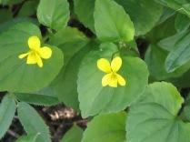Pioneer Violets