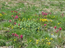 Some wildflower meadows behind Sunrise visitor center... starting to come alive with flowers...