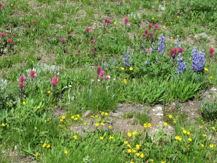 Magenta paintbrush, subalpine lupine, ox-eye daisies, and fan leaved cinquefoil...