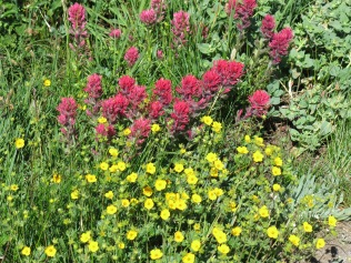 Magenta Paintbrush and Fan-Leaved Cinquefoil