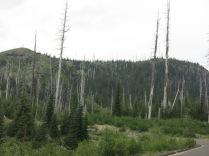 dead trees in scorch zone