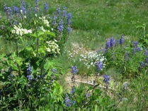 Olympic National Park wildflowers - subalpine lupine, sedge grass,