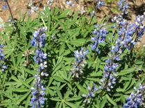 subalpine lupines, Hurricane Ridge, Olympic National Park