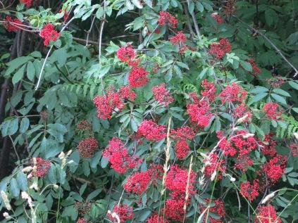 Coast Red Elderberry, Olympic National Park