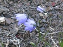 Bluebells-of Scotland