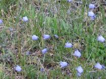 Bluebells-of-Scotland
