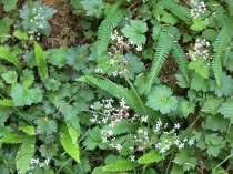 unidentified wildflowers amongst the deer fern