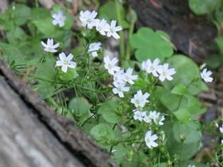unidentified wildflower