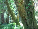 moss covered hemlock and spruce trees