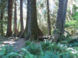 Sitka Spruce straddling a nurse log tree