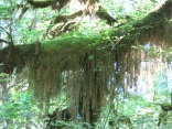 curtain of moss on overhead branch