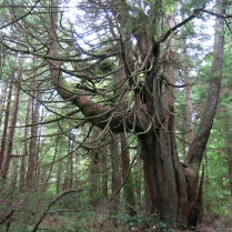 many red cedar trees looked like this