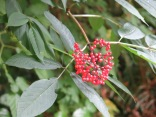 Coast Red Elderberry