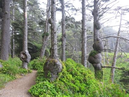 spruce tree burls...
