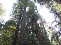 towering Coast Redwoods