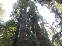 towering Coast Redwoods