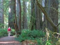 grove of Coast Redwood trees