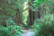 along the Circle Trail... many large redwoods