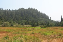 far off herd of Roosevelt Elk in the Prairie Creek Redwoods SP