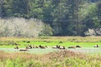 Herd of Roosevelt Elk at the Elk Meadow, Prairie Creek Redwoods SP
