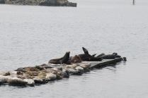 sea lions and seals on floating sidewalk near coast guard station, Crescent City, CA