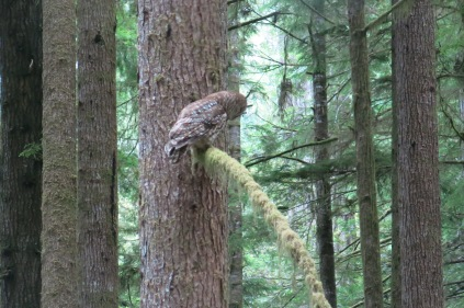 back of spotted owl on redwood branch