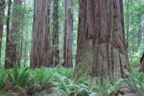 Colossal redwoods in Stout Memorial Grove - waist high sword ferns...