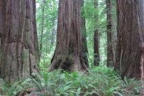 Coast Redwoods, Sword Ferns