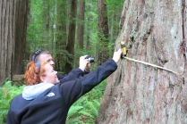 this colossal redwood was measured at 55 feet 6 inches at breast height (they had a 100 ft tape measure!)