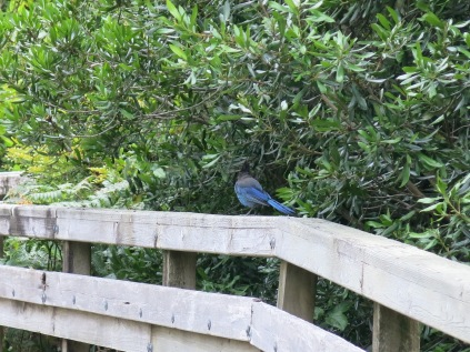 I didn't get a good shot of the Stellar Jay... he hopped away.