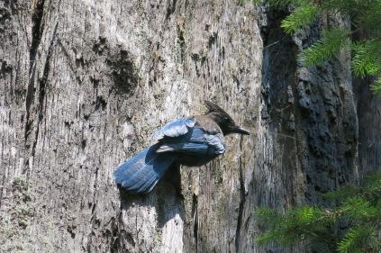 Stellar Jay on a Coast Redwood