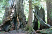 redwoods damaged by fire