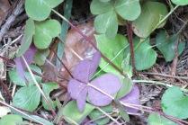underside of redwood sorrel leaves
