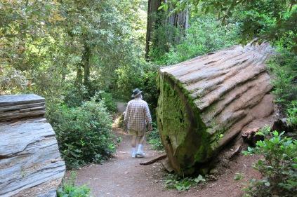 John walking by fallen redwood