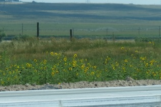 lots of sunflowers by the sides of the interstates...