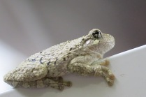 Cope's Gray Treefrog on our awning pole - note the enlarged discs on the ends of his toes for gripping twigs and walking up vertical surfaces.