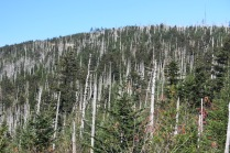 10-21-13 dead frasier fir forest decimated by balsam woolly adelgid; red spruce remain
