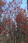 American Mountain Ash berries