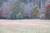 10-24-13 cow elks off in the field